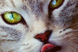 Nur Perserkatzen haben Probleme: Die Katzenzunge ist ein Wunderwerkzeug